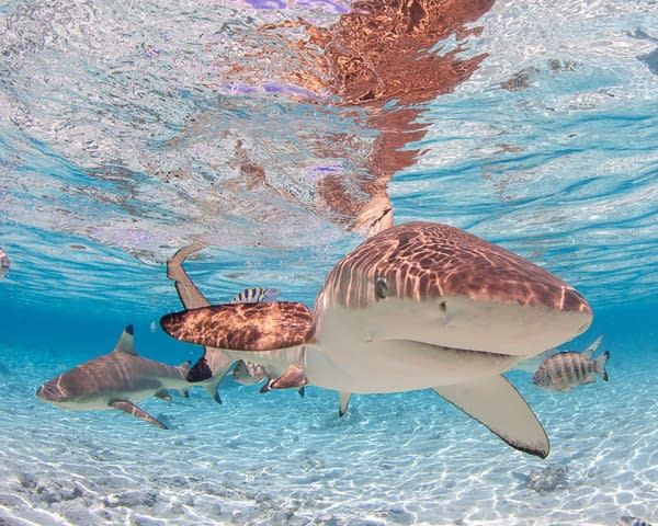Bora Bora Black Tip Shark