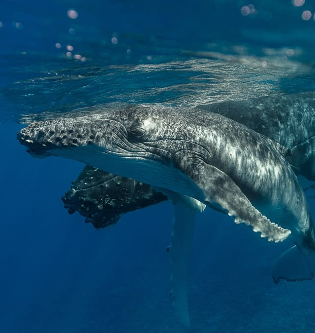 Encounter with a Humpback Whale and her Calve in Bora Bora